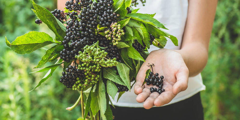 elderberry for immune health
